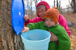 Collecting maple syrup
